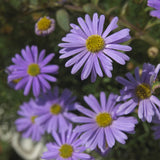 LAKEWAY  Brachychome Qt Violet  for walk in purchase only, at our LAKEWAY  Flash Garden