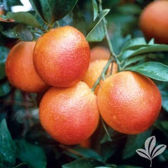 Citrus Pre-Order for pick up only at  DRIFTWOOD Moro Blood Orange 5g  we will notify you when they arrive