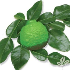 Citrus Pre-Order for pick up only at  DRIFTWOOD Kieffer Lime 5g  we will notify you when they arrive