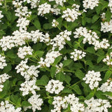 Trailing White Lantana 4""