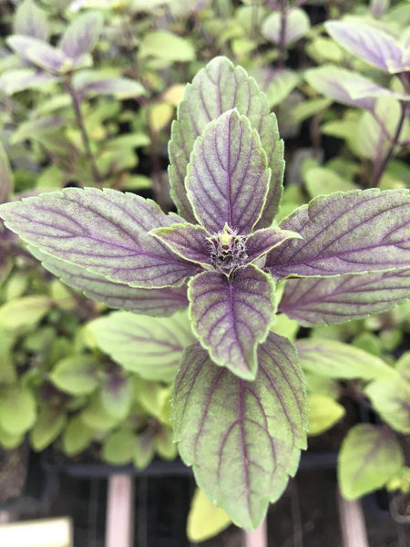 LAKEWAY African Blue Basil #1pot   for walk in purchase only - at our LAKEWAY Flash Garden