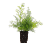 "LAKEWAY Foxtail Fern 4""  Fox   for walk in purchase only at our LAKEWAY Flash Garden"
