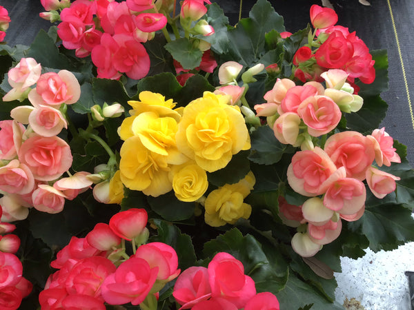 DRIFTWOOD Reiger Begonia 4FR    Florist Quality  for walk in purchase at our DRIFTWOOD Flash Garden