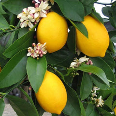 Citrus Pre-Order for pick up only at DRIFTWOOD Improved Meyers Lemon 5g   we will notify you when they arrive