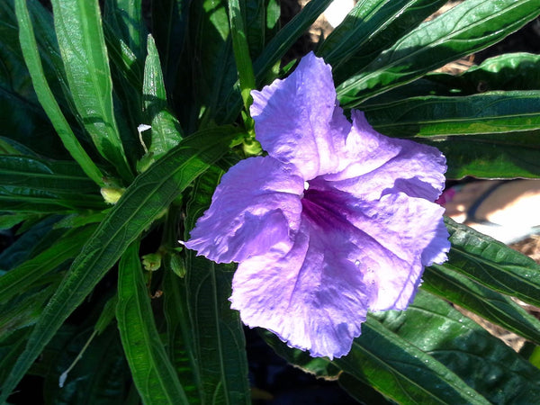 "Katy's Dwarf Ruellia  4""pot. Purple-Blue"