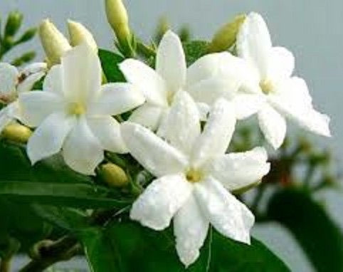 Sambac Jasmine 1g    Night Blooming Jasmine   Bell of India   Jasminum