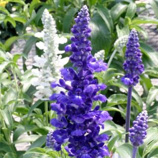 "LAKEWAY  Rhea Salvia farinacea  4""pot   for walk in purchase only (at our LAKEWAY Flash Garden)"