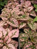 Hypoestes Qt Splash - Polka Dot Plant   Hippo Red