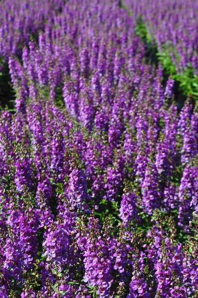 Serenity Purple Angelonia 1g