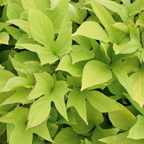 "Illumination Potato Vine  4"" more compact Lime Green - Chartreuse      Ipomoea"