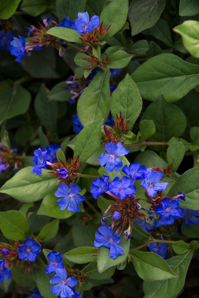 "DRIFTWOOD Ceratostigma 4""pot    Dark Blue Dwarf Plumbago  Leadwort for walk in purchase only, at our DRIFTWOOD Flash Garden"