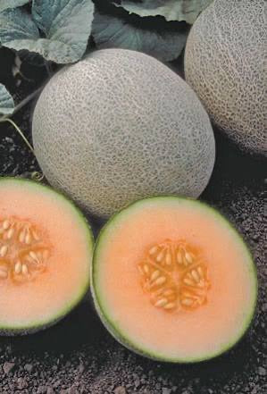 "LAKEWAY  Ambrosia Cantaloupe  4""  for walk in purchase only  (at our LAKEWAY Flash Garden)"