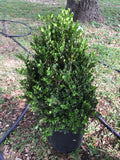 Boxwood Topiary Cone 5g
