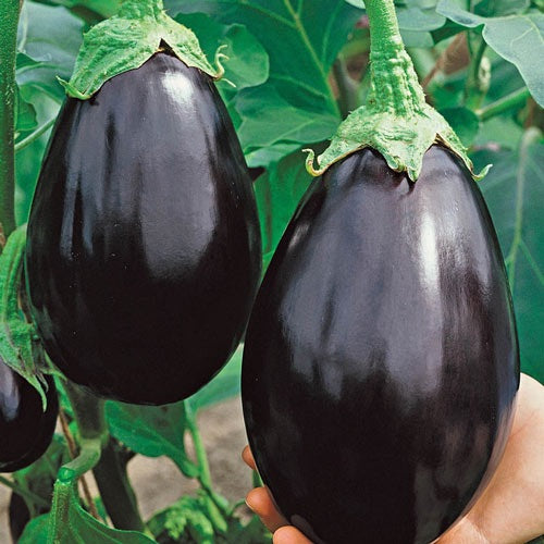 "Veggie 4"" Eggplant - Black Beauty"