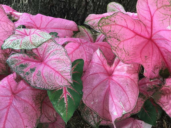 "Fannie Munson Florist Caladium 6""pot"