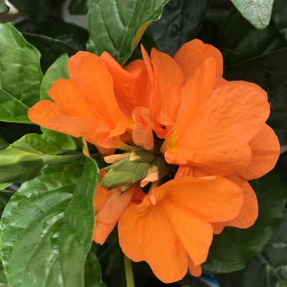 Dummen Orange Crossandra Qt