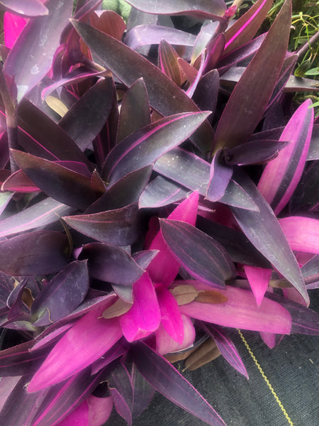 Qt Perennial Setcresea- variegated - 'Pink Stripe' Purple Heart Jew Variegated