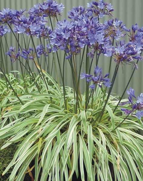 Neverland  Lily of the Nile 1g Agapanthus   Variegated