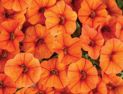 Calibrochoa Qt  Dreamsicle Superbells   Proven Winners