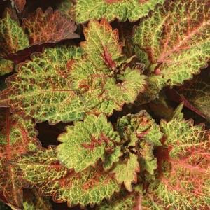 "Indian Summer Coleus 4""    Shade or Sun"