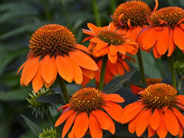 Sombrero Adobe Yellow Coneflower #2   Echinacea