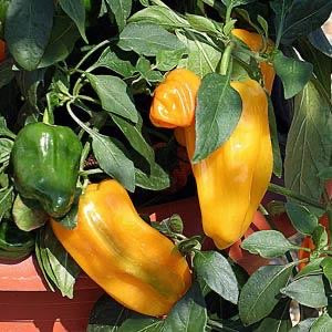 "Mohawk Pepper 4"" Sweet a Dwarf Bell Pepper"