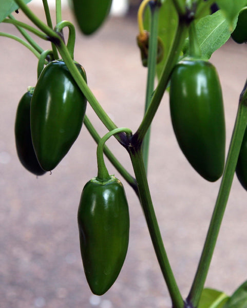 Grafted Jalapeño  Pepper 1g