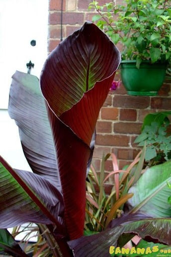 Ensete 5gal.  Red Abyssinian Banana   Red Banana