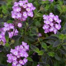 Trailing Purple Lantana 1g Lantana