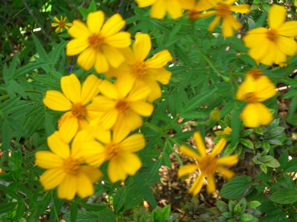 Mexican Mint Marigold 1g     Tagetes lucida