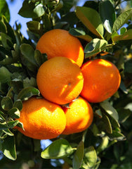 Citrus Pre-Order for pick up only at  DRIFTWOOD Clementine Mandarin 5g  we will notify you when they arrive