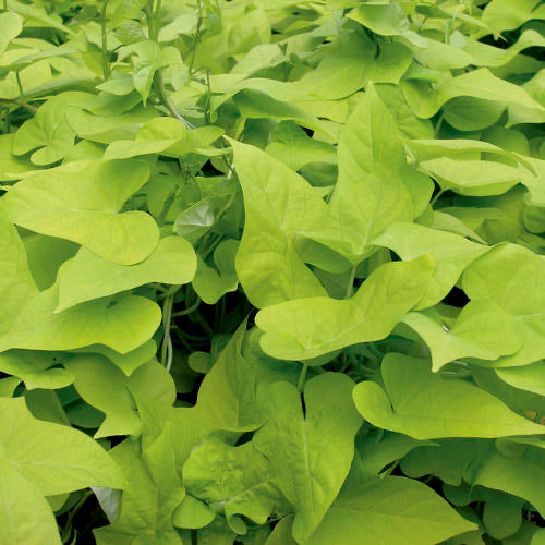 "Margarita Potato Vine  4"" Lime Green - Chartreuse      Ipomoea"