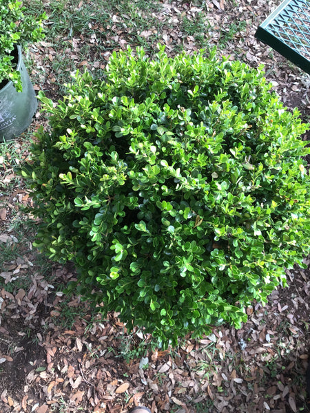 Boxwood Topiary Globe 15g