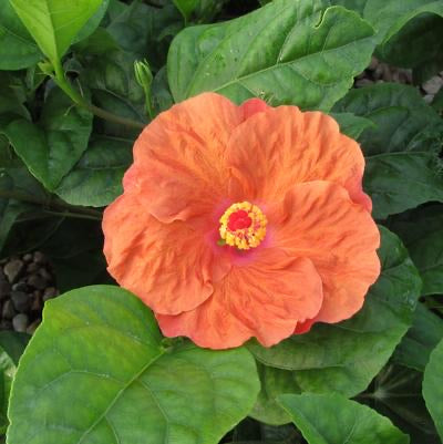 Orange Seduction Hibiscus 2g/3g
