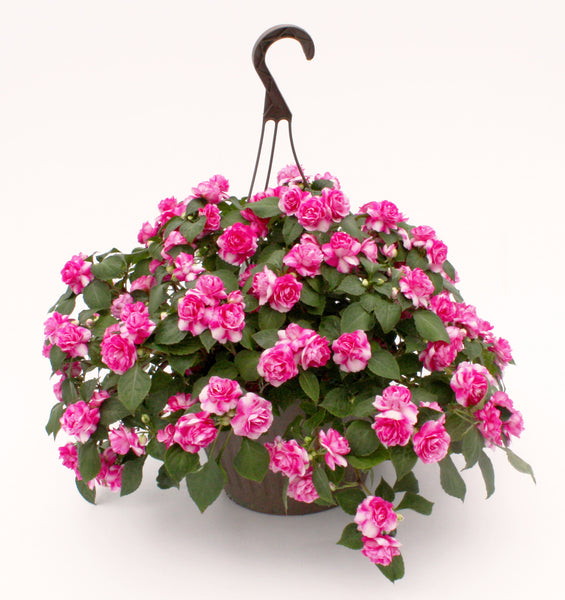 "Double Impatiens 10""Hanging Basket  assorted colors   Rosebud Impatiens"