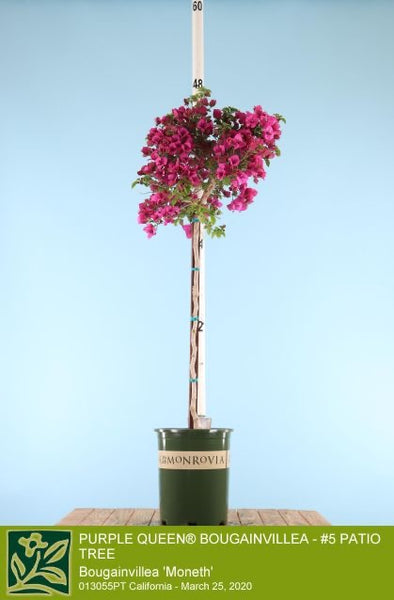Purple Queen Bougainvillea 5g Patio Tree       Boug