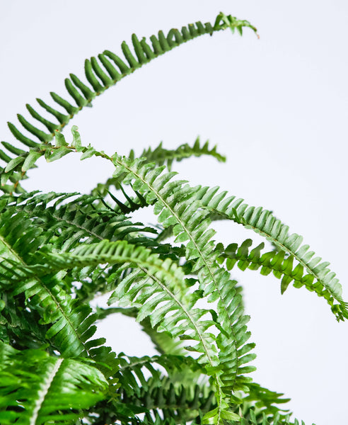 Kimberly Queen Fern Hanging Basket