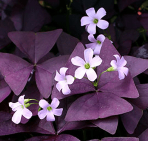 "a.  Oxalis triangularis (pink bloom) 4"" Purple Oxalis"