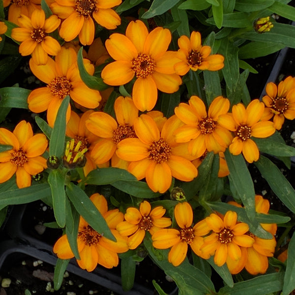 "Crystal Orange 4""  Zinnia linearis   Classic Zinnia"