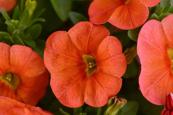 "Calibrachoa  Cabaret Orange 4"" Million Bells"