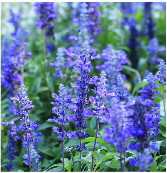 "LAKEWAY Blue Bedder Salvia farinacea  4""pot   for walk in purchase only (at our LAKEWAY Flash Garden)"