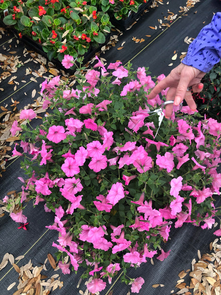 "LAKEWAY  Supertunia 10"" Hanging Basket Assorted Colors for walk in purchase at our LAKEWAY  Flash Garden"