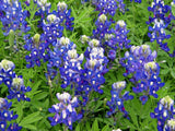 Texas Bluebonnet Qt
