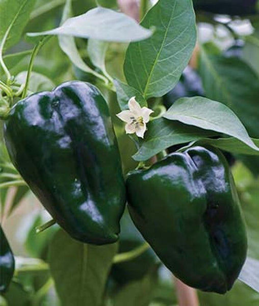 "LAKEWAY Ancho Pablano Pepper 4"" for walk in purchase at our LAKEWAY Flash Garden"