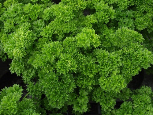"LAKEWAY Curled Parsley 4""  Herb for walk in purchase at our LAKEWAY Flash Garden"