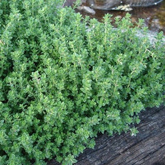 "Herb 4"" Thyme - Magic Carpet"