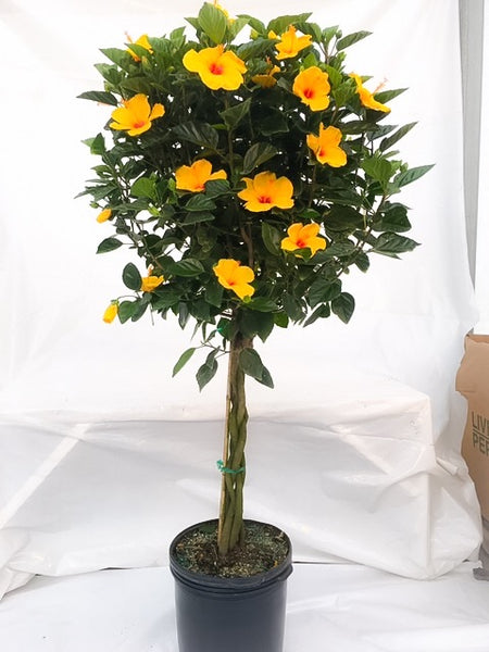 Full Moon Hibiscus 5g Patio Tree   Double Yellow