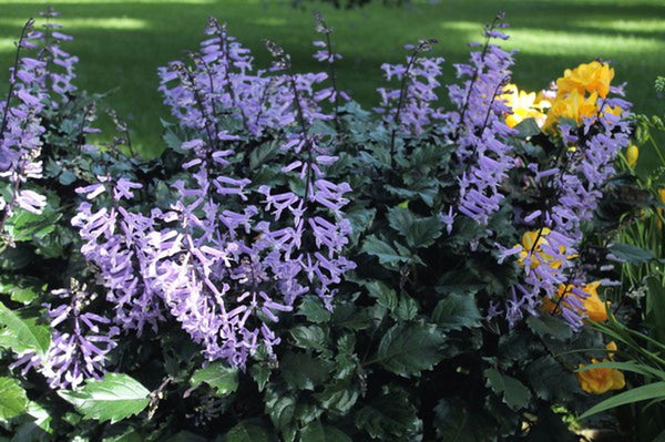 DRIFTWOOD Mona Lavender Plectranthus 1g  for walk in purchase only (at our DRIFTWOOD Flash Garden)