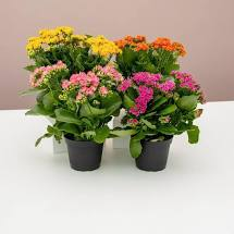 DRIFTWOOD Calandiva Kalanchoe  4FR   Assorted Colors Florist Quality  for walk in purchase at our DRIFTWOOD Flash Garden