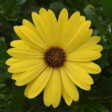 LAKEWAY  African Daisy QT  Compact Yellow   Osteospermum for walk in purchase only, at our LAKEWAY  Flash Garden